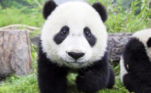 маленькая панда