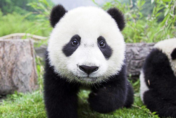 Маленький приставучий ребенок панды, который жаждет внимания