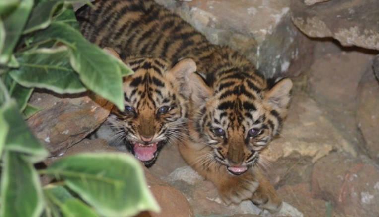 Осиротевших тигрят спасла плюшевая «мама»
