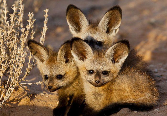 Африканские ушастые лисицы