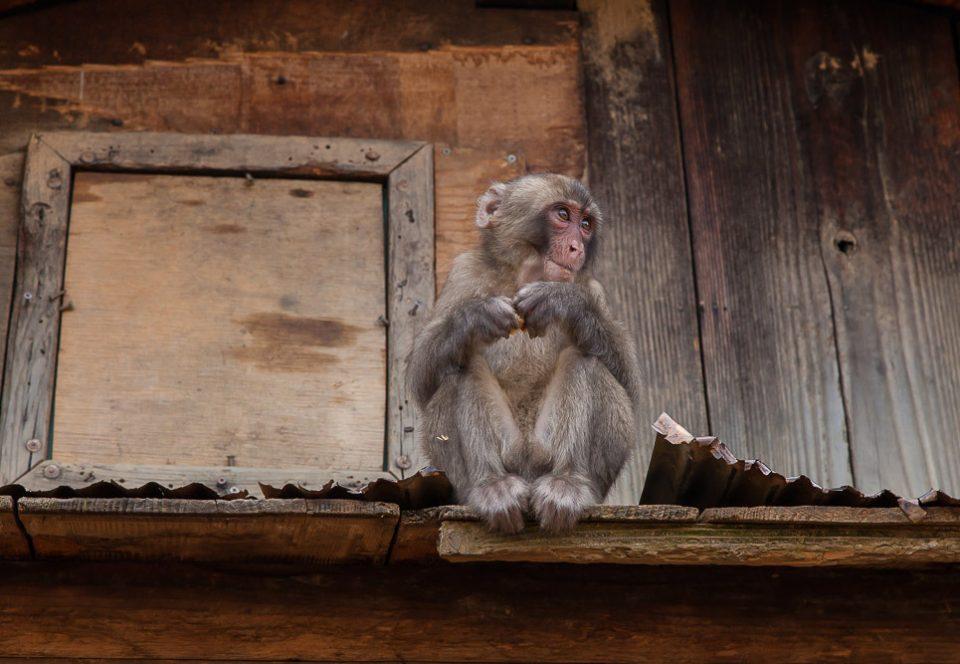 киото обезьяны