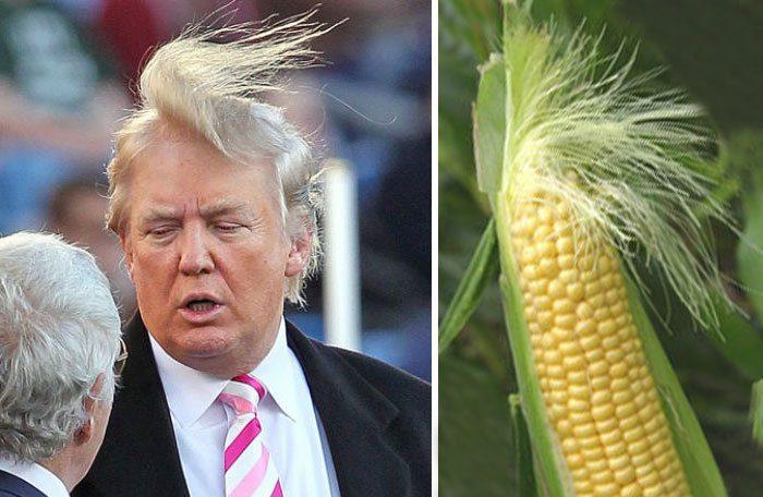 Дональд Трамп или этот початок кукурузы