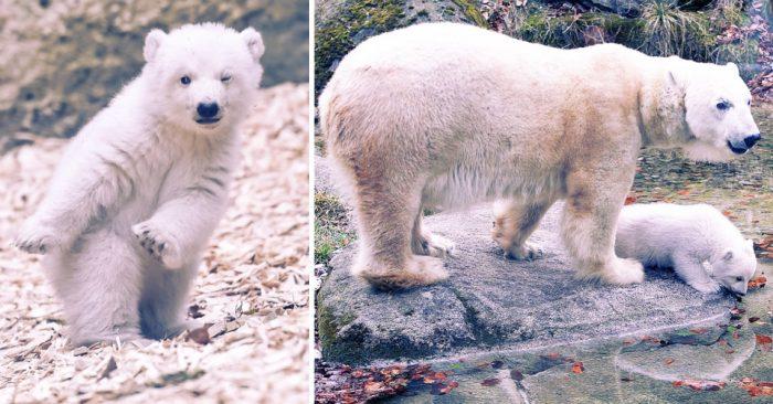 Полярный медвежонок, подмигивая в объектив, делает свои первые шаги — это так мило