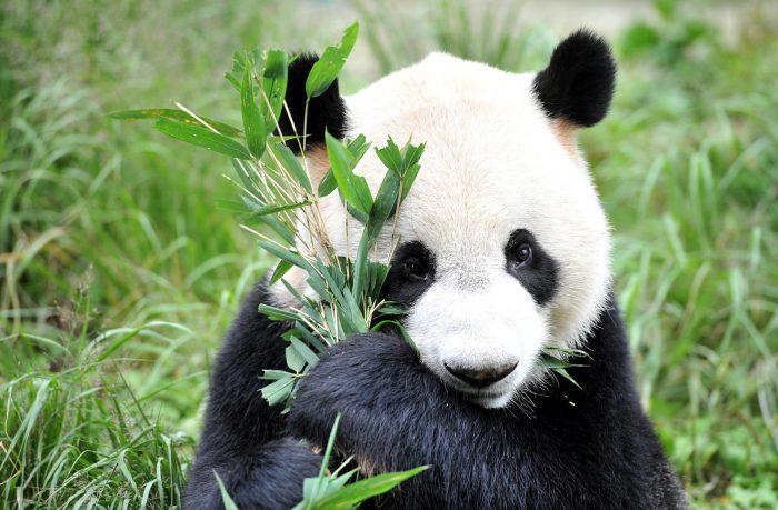 Ученые узнали, зачем пандам нужна такая расцветка