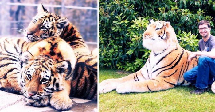 Осиротевших тигрят спасла плюшевая «мама»!