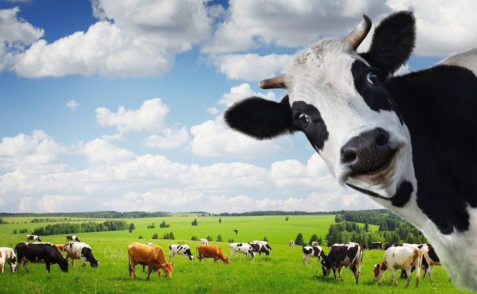 корова дающая молоко