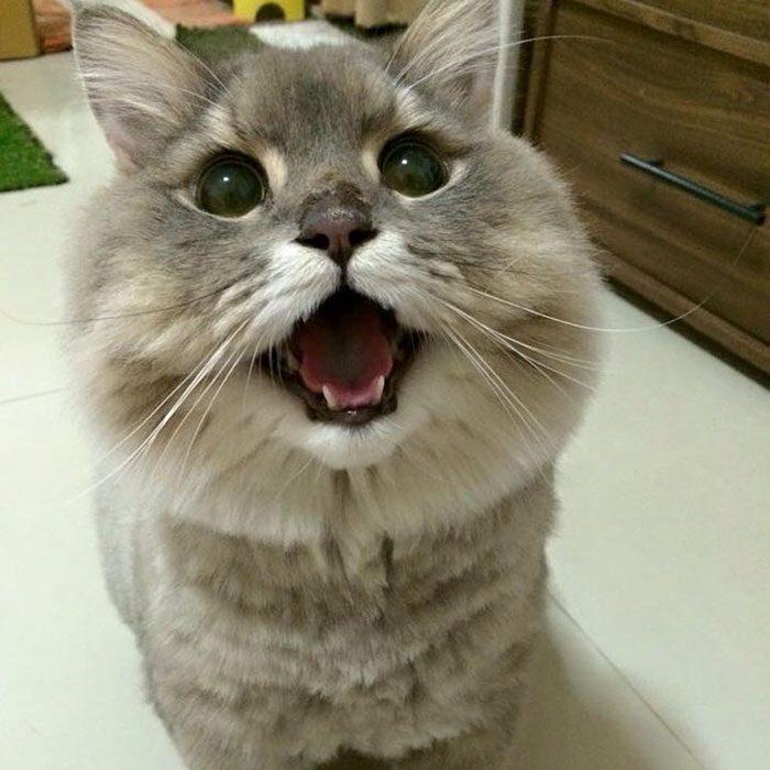 Боне-Боне — огромный пушистый кот из Таиланда