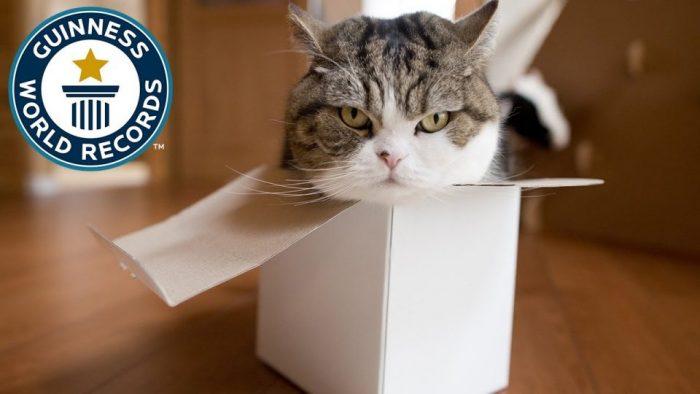 «Король коробок» — самый популярный кот по Гиннессу