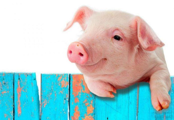 Почему мусульманам нельзя употреблять в пищу свиное мясо?