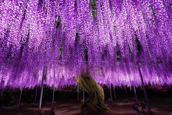Стартовал фестиваль глицинии в Японии — незабываемое яркое зрелище