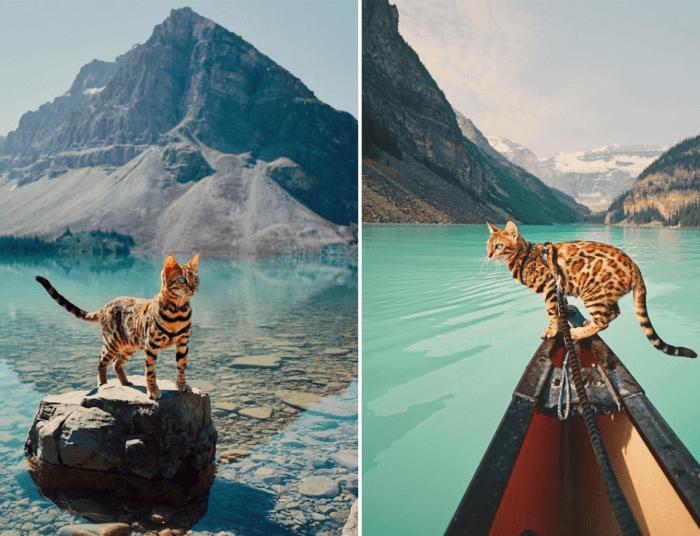 Бенгальский кот, который путешествует лучше чем ты