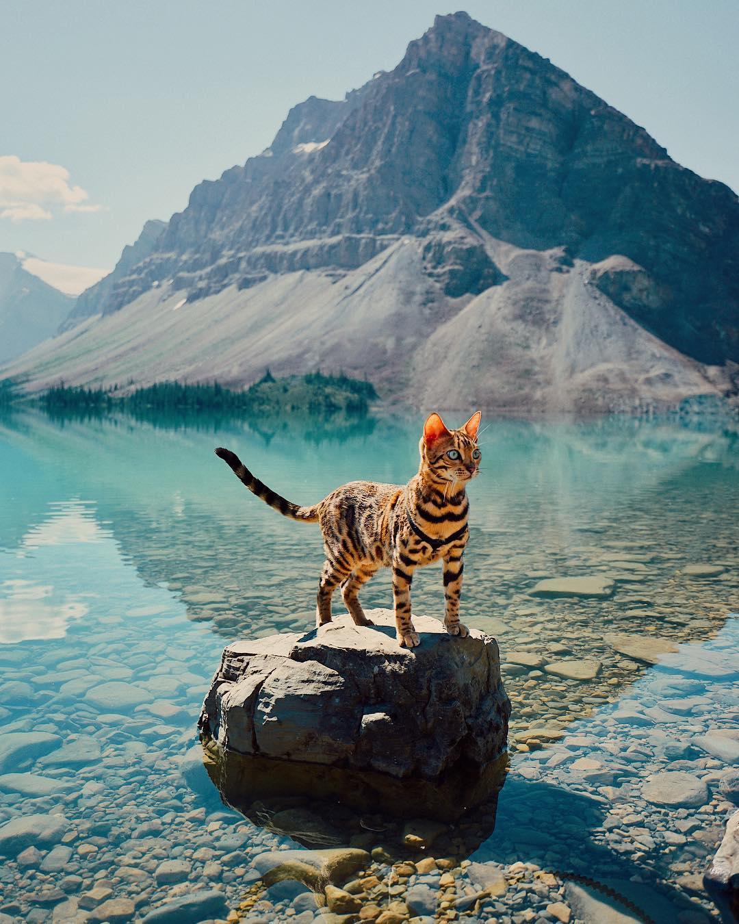 красивая бенгальская кошка